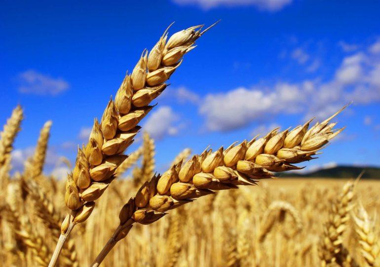Убираем пшеницу