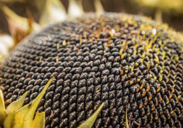 Больше всего семян подсолнечника намолотили в хозяйствах Бузулукского района – 58,3 тысячи тонн