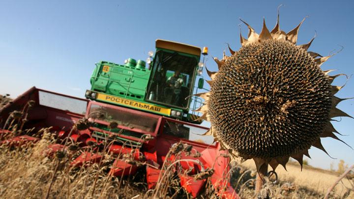 Лучший урожай подсолнечника в хозяйствах Бузулукского района  – 59,6 тысяч тонн